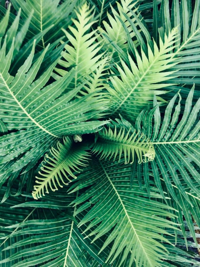 The leaves of a fern.
